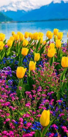 Frühlingsblumen Spring: yellow tulips, flowers on Lake Geneva, with Swiss Alps, Montreux, Switzerlan Yellow Tulips, Tulips Flowers, Table Flowers, Pretty Flowers, Wild Flowers, Planting Flowers, Yellow Spring Flowers, Bright Yellow, Purple Flowers
