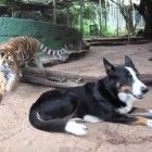 The tricolour Border Collie and the eight-month old tiger cub are inseparable - sleeping, eating and playing together.