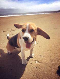 I love the beach   #beagle