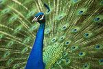 Peacock by SarahharaS1