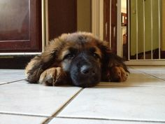 Sleepy Leonberger Puppy