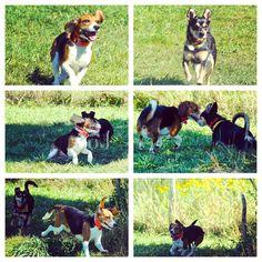 Sylvia & Diaz playing with spunk on the farm. #evasplaypupspa #dogcamp #doggievacays #beaglesofinstagram #badassbk #adoptdontshop #wireypup #sillypooches #parkplay #endlessmountains #mountpleasant #PA #pennsylvania