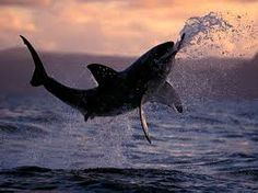 great white shark - Google Search They cull them and many like them off the coast of W.A.