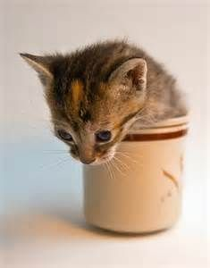 kitten in a cup - Yahoo Image Search Results