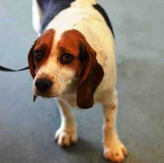SUPER URGENT 02/06/15 Brooklyn Center BRIGHTNESS – A1027110 ***NEEDS VET CARE*** FEMALE, TRICOLOR BEAGLE, 3 yrs, STRAY – NO HOLD Intake condition EXAM REQ Intake Date 02/06/2015, From NY 11214, DueOut Date 4, https://www.facebook.com/Urgentdeathrowdogs/photos/a.617942388218644.1073741870.152876678058553/957546030924943/?type=3&theater