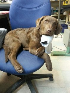 Chesapeake Bay Retriever Lily she doesnt fit in this chair anymore now and shes pretty up set about it haha :)