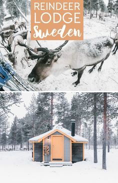 Reindeer Lodge in Kiruna, Sweden: an Airbnb where you can stay in a cabin with reindeer in Swedish Lapland Scandinavian Holidays, Sweden Travel, See The Northern Lights, Amazing Destinations, Travel Destinations, Cabins In The Woods, Winter Travel, European Travel, Log Homes