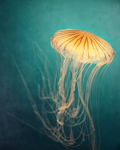 Nature Photography Jellyfish Photograph in by EyePoetryPhotography, $30.00