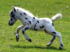 A foal is able to stand up within an hour after being born, and can trot within hours. This speckled foal really wanted to audition for 101 Dalmatians.