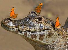A fotógrafa alemã Alexandra Sailer, 40 anos, flagrou o momento em que um grupo de borboletas irrita um jacaré ao pousar nele, no Pantanal brasileiro  Foto: The Grosby Group