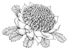 Telopea speciosissima - Floral Emblems - Australian Plant Information Australian Wildflowers, Australian Native Flowers, Australian Plants, Botanical Line Drawing, Botanical Drawings, Botanical Prints, Native Drawings, Art Drawings, Flower Drawings