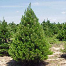 Vanderwolf 39 s pyramid pine pinus flexilis vanderwolf 39 s for Evergreen landscapes christchurch