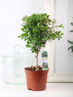 Мини-деревце Мирсина - для выращивания бонсай или в качестве комнатного растения
