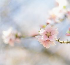 #cherry blossom #photography  Elizabeth Gaubeka Photography | Au Petit Goût