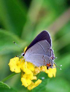grey hairstreak butterfly - Google Search