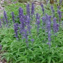 Best Annuals for Problem Clay Soils: Salvia farinacea — Mealycup sage