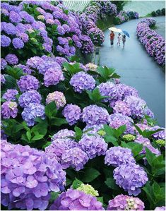Hydrangea Road in Miyazaki, Japan. My husband's favorite garden flower, and to think there's a Hydrangea ROAD to walk up and down in Japan! Hortensia Hydrangea, Hydrangea Flower, Hydrangea Seeds, Purple Flowers, Beautiful Flowers, Purple Hydrangeas, Nice Flower, Romantic Flowers, Exotic Flowers