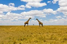 Giraffes at savannah    Photo and caption by Niko Saunio    Unusual perspectival shot depicting two giraffes and a tree in Masai Mara, Kenya.