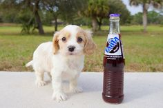 Cavachon puppies to adopt in Florida and South Florida. adopt near Sarasota, Tampa, Daytona, Orlando, Fort Myers, Fort Lauderdale, Miami and Naples.