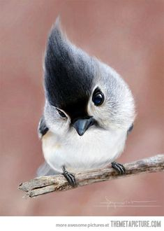 Tufted Titmouse: considered the most beautiful bird in the world…