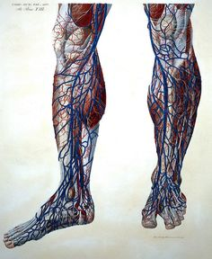 bioillustrate:  Front view of vessels of legs by Paola Mascangi, published: 1823.