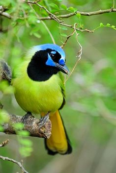 The Green jay (Cyanocorax yncas) is a bird species of the New World jays, and is found in both North and South America.
