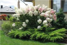 Казацкий Можжевельник с гортензией Vanilla Fraise Backyard Retreat, Backyard Landscaping, Hydrangea, Garden Landscape Design, Beautiful Gardens, Garden Plants, Soda, Flowers, Projects To Try