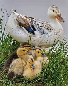 Baby Farm Animals, Animals And Pets, Cute Animals, Wild Animals, Beautiful Birds, Animals Beautiful, Beautiful Places, Beautiful Pictures, Welsh Harlequin Duck