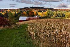 Corn field in Vermont.