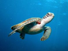 High Definition The Green Turtle Wallpaper Green Turtle, Turtle Love, Great Barrier Reef, Cairns, Animal Antics, Reptiles And Amphibians, Tortoises, Killer Whales, Cute Animal Pictures