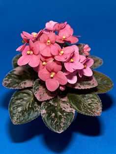 """This semi-miniature African violet, 'Mac's Strawberry Sundae' (G. McDonald, hybridizer), has coral-red blooms. African violets have many different flower shapes, including singles, stars (5 petals in a star shape), doubles, semidoubles, ruffled doubles, ruffled stars, and wasps (5 petals, with the upper two slightly curled back). Goretsky says the plants will bloom when they get sufficient light. """"No amount of care or feeding will encourage them to bloom if they are not receiving enough…"""