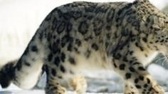 Petition · Ministry of environment and forests of India: Protect the Snow Leopards · Change.org