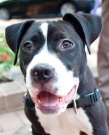 boxer pit bull terrier mix