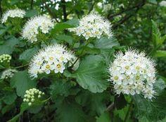 La Corona de Novia es una planta perteneciente a la familia de las Rosáceas, género Spiracea, especie Cantoniensis, que se diferencia por ser un arbusto caduco de floración intensa, que suele produ…