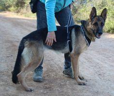 Fe, dt. Schäferhündin, wartet im spanischen Tierheim auf SIE! - http://www.tier-kleinanzeigen.com/ads/fe-dt-schaeferhuendin-wartet-im-spanischen-tierheim-auf-sie/