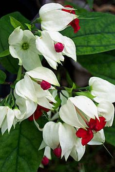 Bleeding Heart Vine. Dark green oval leaves. Does well in most southern climates.