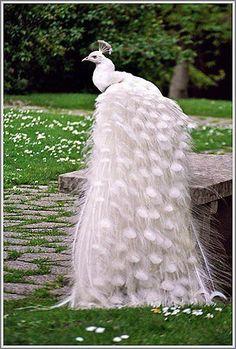 :)  A white peacock, isn't it beautiful