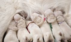 Have you been wondering how long do dogs stay pregnant? This guide will answer all your questions about canine gestation and the birthing process. Dog Whelping Box, Whelping Puppies, Puppy Care, Dog Care, Dog Labor, Dog Having Puppies, Puppy Playpen, Puppy Litter, Pregnant Dog