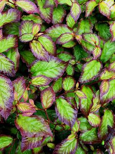 Zone 7 Shade Plants On Pinterest Shades Shrubs And Plants