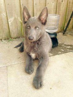 Blue GSD Puppy