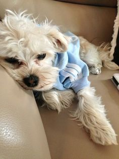 White morkie milo in a baby blue Adidas dog shirt!