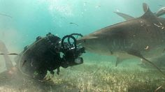 Jonathan Bird's Blue World: Tiger Sharks