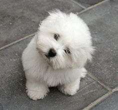 this is the kind of dog i want! (: coton de tulear    @MeaganJackson I approve of this pup :)