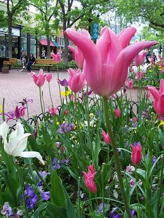 Each Spring the City of Boulder tends to the giant tulips along Pearl Street. It's an amazing sight if you're in the city!