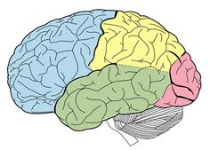 Neurobiology Basis of OCD By: Caitlin Beddows, Posted on: July 23, 2015 Neuroanatomy and Neurocircuitry