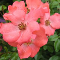 """Flower Carpet Rose - Coral. Repin this photo to vote for """"Coral"""" as your favorite rose color. *Visit the link to enter our rose giveaway!*"""