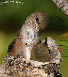 baby Hummingingbird hanging out