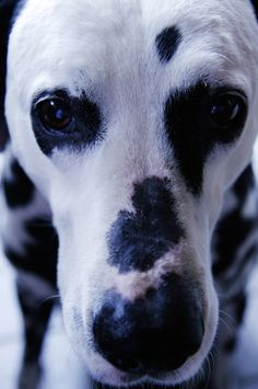 Dalmatian ~ looking into your soul Love Pet, I Love Dogs, Puppy Love, Beautiful Dogs, Animals Beautiful, Cute Animals, Beer Label, Goldendoodle, Girls Best Friend