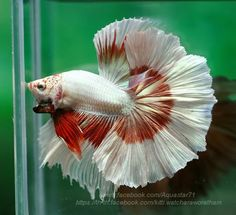 Betta fist are a fun beautiful fish that many people can have in their home with minimal effort. Learn these easy steps to taking care of this beautiful pet. Tropical Freshwater Fish, Freshwater Aquarium, Tropical Fish, Betta Fish Types, Betta Fish Care, Beta Fish, Siamese Fighting Fish, Aquarium Design, Halfmoon Betta