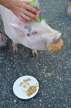 Altadena, where they not only give a pig a pancake -- they give a pig a cake and a birthday party at Food Truck Fridays. Penelope the pig, from Danny's Farm, had a 1 year birthday party. Via Meredith Felton Miller, Webster's Community Pharmacy. — in Altadena.